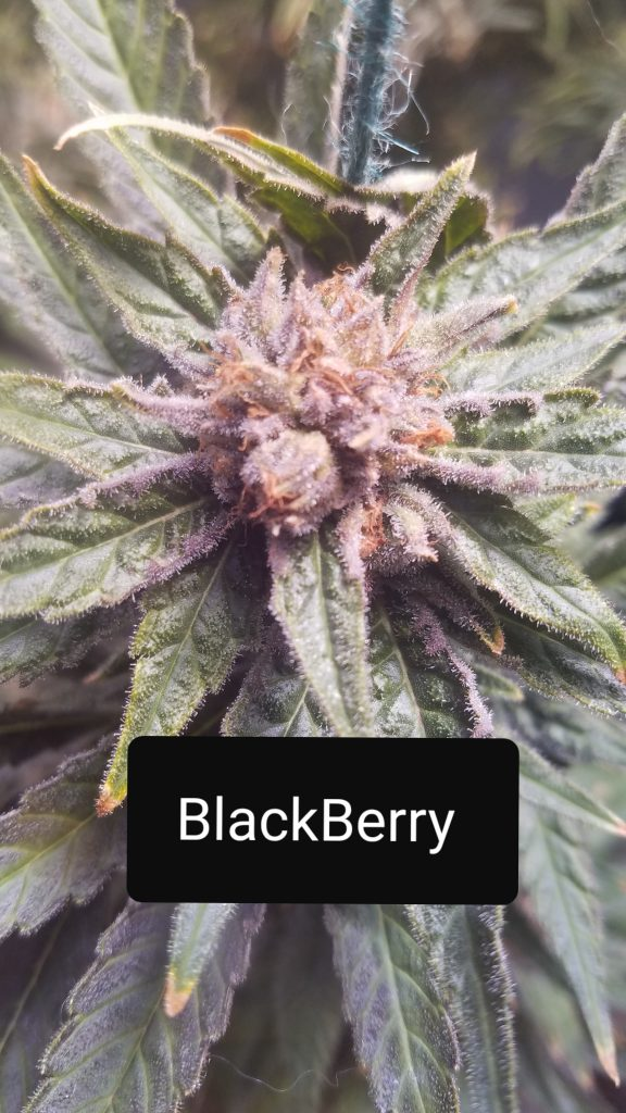 Blackberry Cannabis
