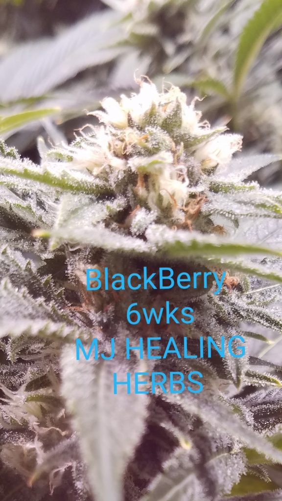 Blackberry Cannabis Augusta