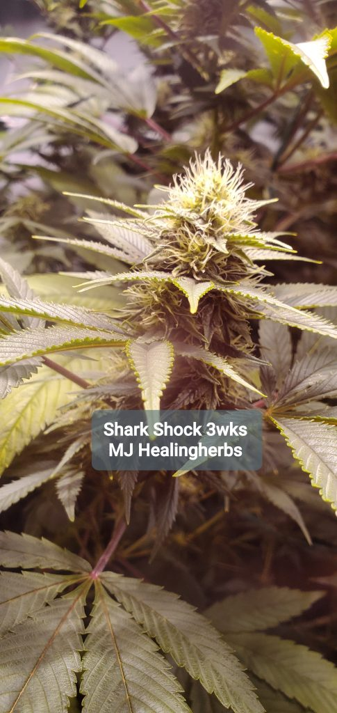 maine cannabis