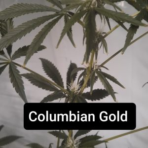 Columbian Gold