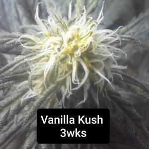 Vanilla Kush