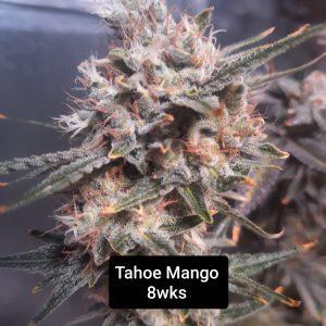 Tahoe Mango