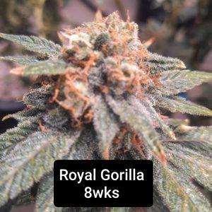 Coming Soon! <br>Royal Gorilla