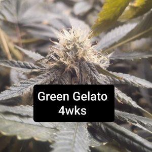 Coming Soon! <br>Green Gelato