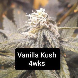 Coming Soon! <br>Vanilla Kush